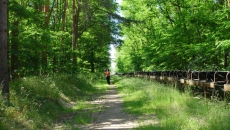 Robinia forest