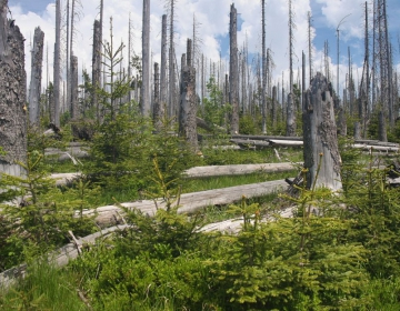 Regeneration after bark beetle