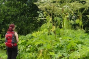 Giant hogweed in the field
